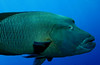 The super large and overly friendly Napoleon Humphead Wrasse...interestingly patterned markings!