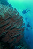 Red soft coral with diver silhouettes