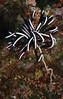 Feather Crinoid