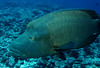 The Humphead Wrasse has a blue head with maze-like markings and a pronounced hump above it's eyes. Oh, and BIG lips!