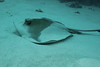 Cowtail Stingray, resting in the sand.