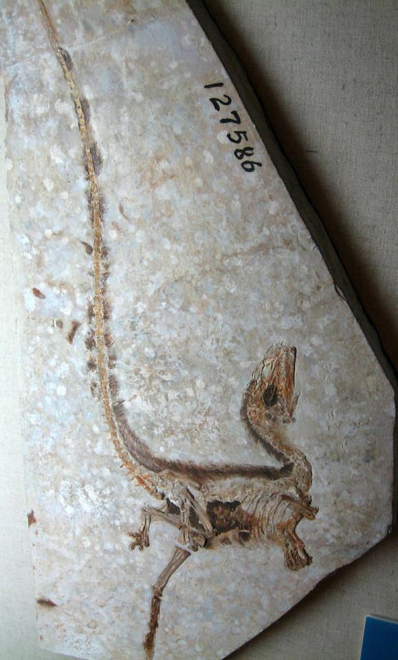 Sinosauropteryx fossil