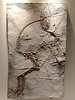 Sinosauropteryx, prima, feathered, dinosaur, plate, Early, Cretaceous, Yixian, Formation, Liaoning, China, Houston, Museum, Natural, Science