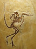 Archaeopteryx, lithographica