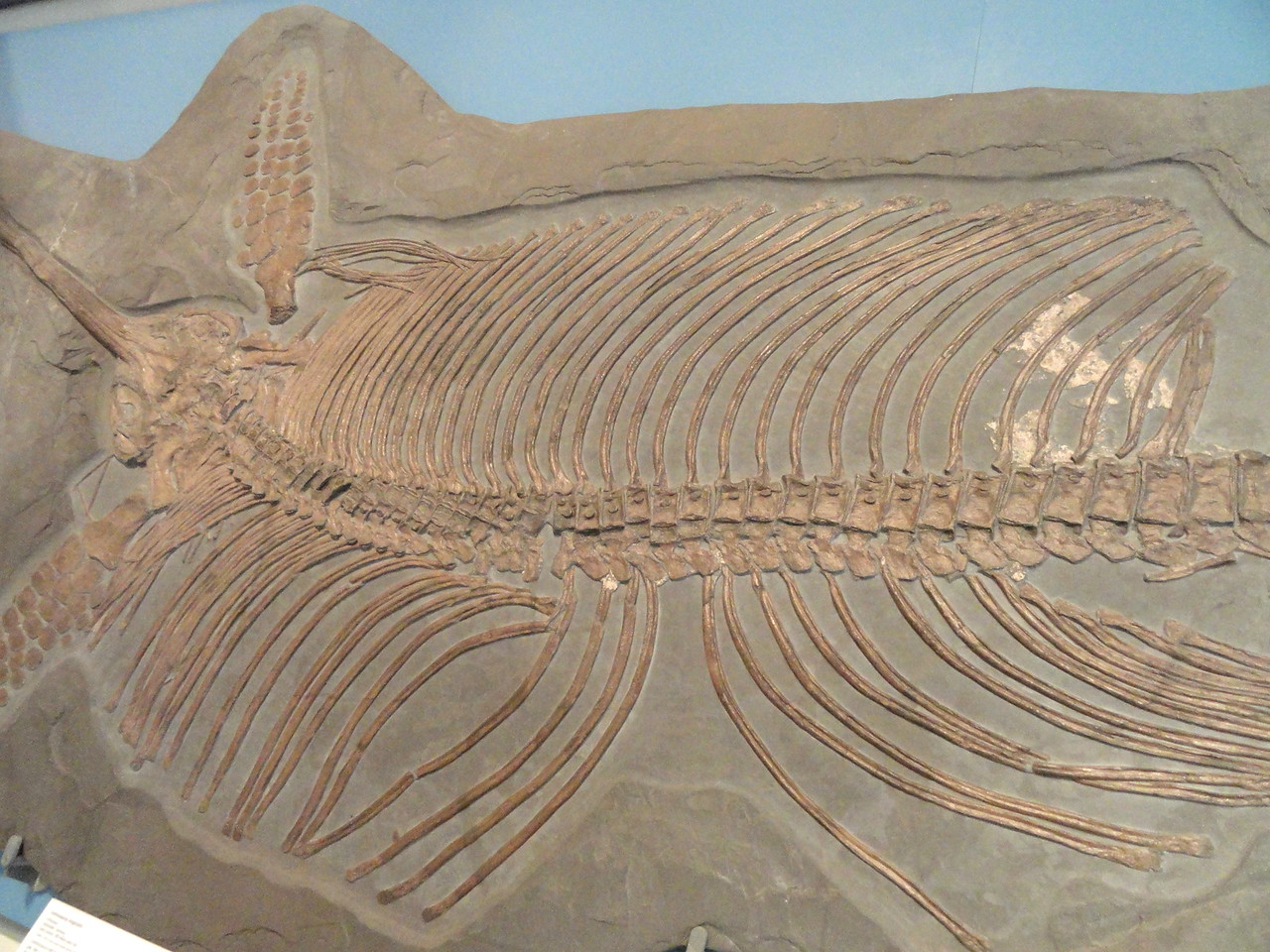 Eurhinosaurus, longirostris, detail, Holzmaden, Germany, Early, Jurassic, Royal, Ontario, Museum,
