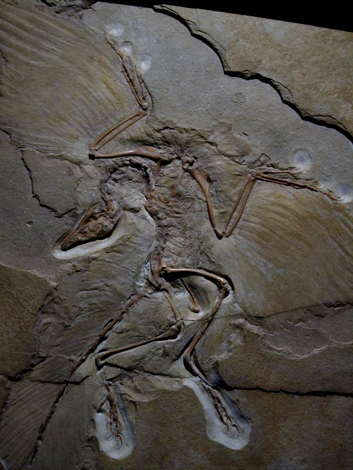 Archaeopteryx, fossil, Museum, fur, Naturkunde, Berlin, Germany