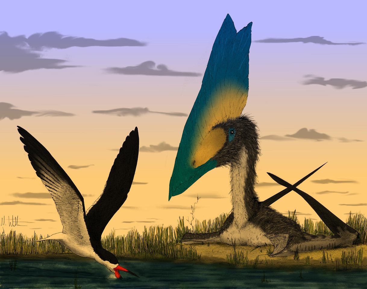 <p>'Physical and theoretical models show that pterosaurs (Thalassodromeus, right) could not meet the energy requirements of skimming, a rare feeding strategy practiced habitually by just a few extant Rynchops species (black skimmer, left). (Image: Mark Witton)'</p>