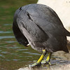 Am I a BOY? American Coot