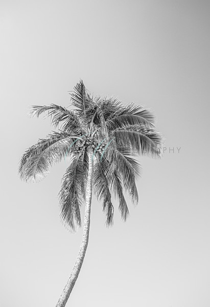 Solitary Palm B&W