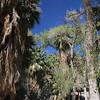 Indian Canyons, Agua Caliente Tribal Lands<br /> Andreas Creek Trail