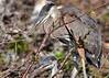 baby blue herons 2