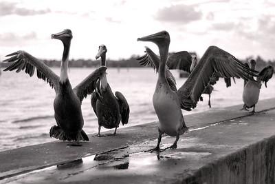cute pelicans