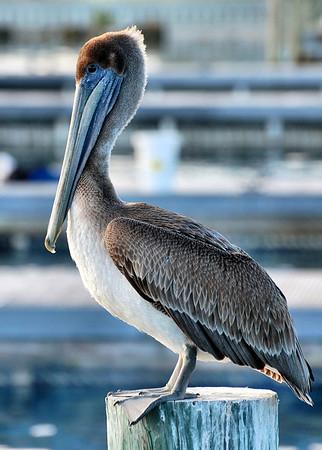 Blue Pelican Color