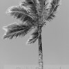 Silver Palm Tree
