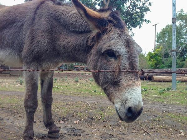 Barron Park Donkeys - Palo Alto