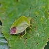 Palomena prasina (Shield Bug)