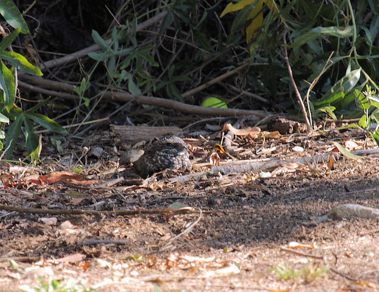 On October 27, 2012, while out birding with Martin Byhower, friend, mentor, and bird guide in Los Angeles' South Bay, we surprised this out-in-the-open Common Poorwill that was lying motionless off a path along the Harbor Park Golf Course. I think we surprised him as much as he surprised us!