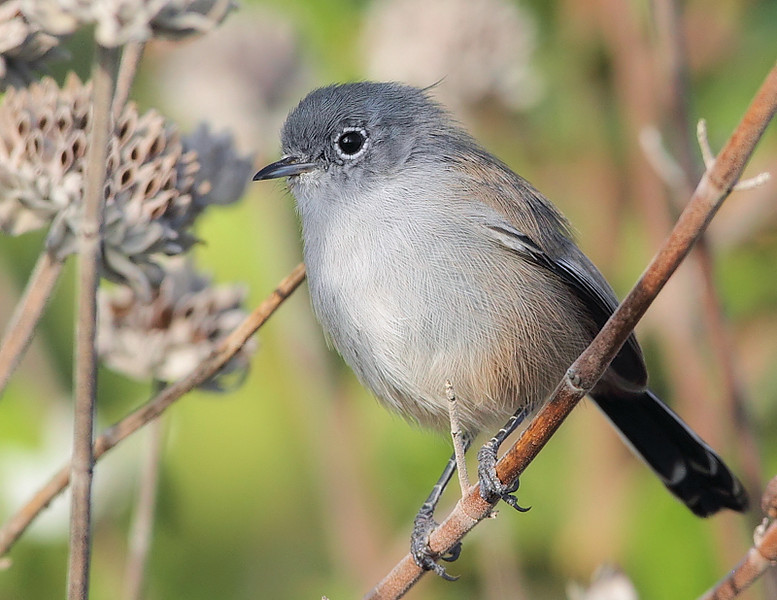 Another California Gnatcatcher. Blue-gray Gnatcatchers are also found on the Palos Verdes Peninsula, but can be distinguished from Californias by, among other markings, the underside of the tail; as can be seen here, the California has almost all-black outer tail feathers, whereas the Blue-grays are mostly white. Forrestal Reserve, October 12 2010.