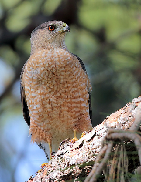 This adult Cooper's Hawk accompanied the juvenile Cooper's in the above photo, South Coast Botanic Garden, Palos Verdes, March 2011.