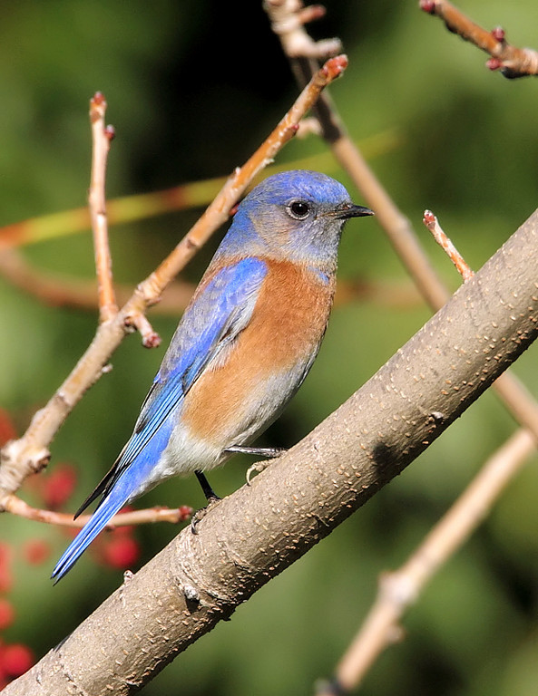 And here's one of those Western Bluebirds at Eastview Park, a brilliant male, taken December 24, 2010.