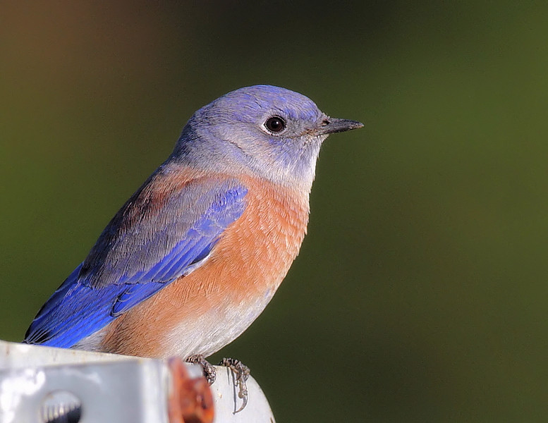 "One of the joys of KMHRP is the return of the Western Bluebirds. In October 2008, folks at PV/South Bay Audubon launched the Bluebird Nest Box Project. The 2010 breeding season saw 30 Bluebirds fledge according to the PV/South Bay Audubon Western Bluebird webpage at  <a href=""http://www.pvsb-audubon.org/bluebirdproject.html"">http://www.pvsb-audubon.org/bluebirdproject.html</a> . Here's a colorful male Bluebird perched on a park sign, taken October 10 2010."