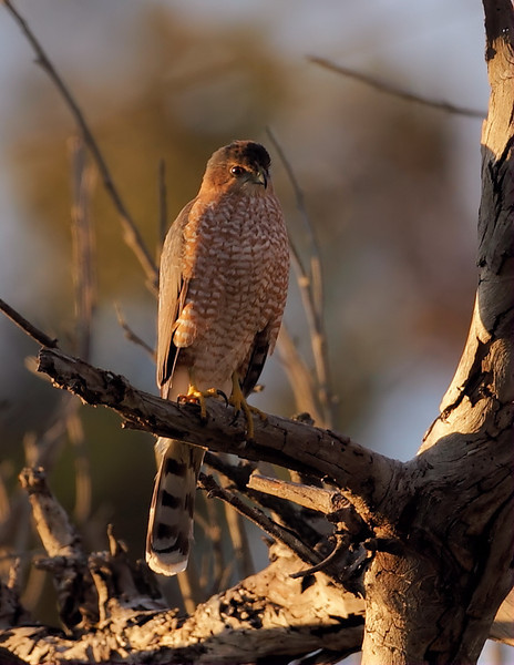 Adult Cooper's Hawk, Angels Gate Park, San Pedro, CA, December 27 2012.
