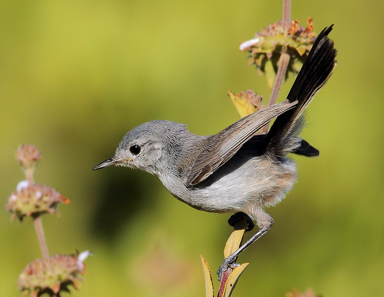California Gnatcatcher, Forrestal Nature Reserve, May 29 2010.
