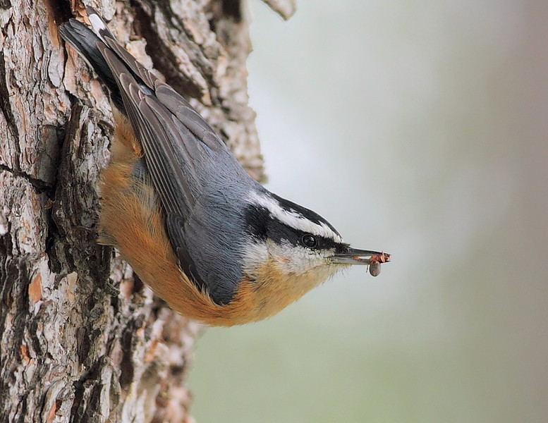 Red-breasted Nuthatch with a snack, October 24 2010.