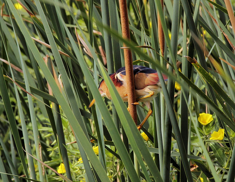 On June 12 2010 I spotted this Least Bittern in the reeds along the western shore of KMHRP's Machado Lake. Martin Byhower says it's a bird that hasn't been seen at the park in recent years, and this sighting might signal a return of sorts.