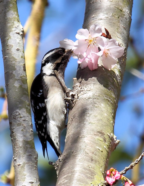 Quite a few birds were attracted to the pollen and insects in the South Coast Botanic Garden's blooming Japanese Cherry Blossom trees on Saturday, March 9, 2013. Here's a female Downy Woodpecker investigating...