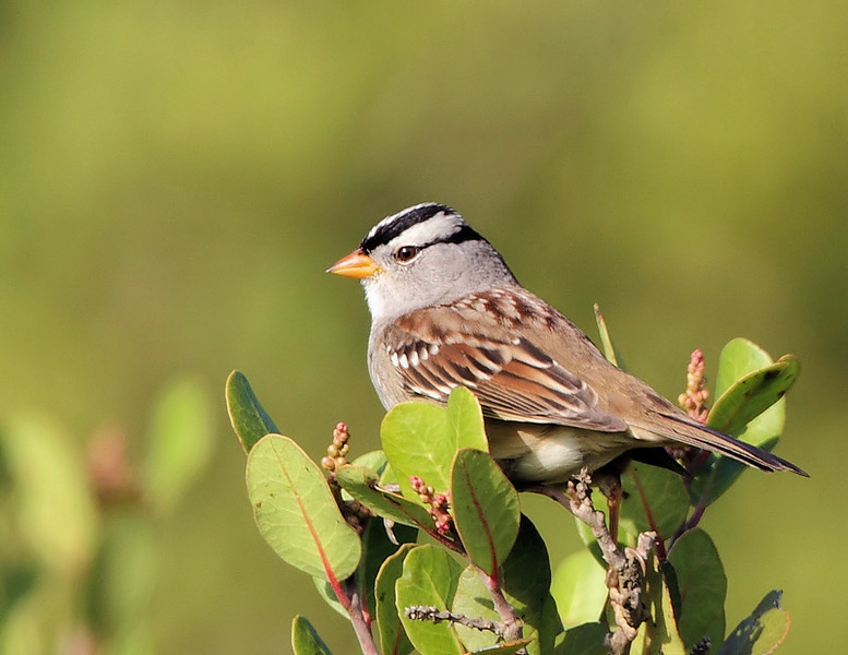A White-crowned Sparrow, a good sign fall migration is in full-swing, Forrestal Nature Reserve, Palos Verdes, October 12 2010.