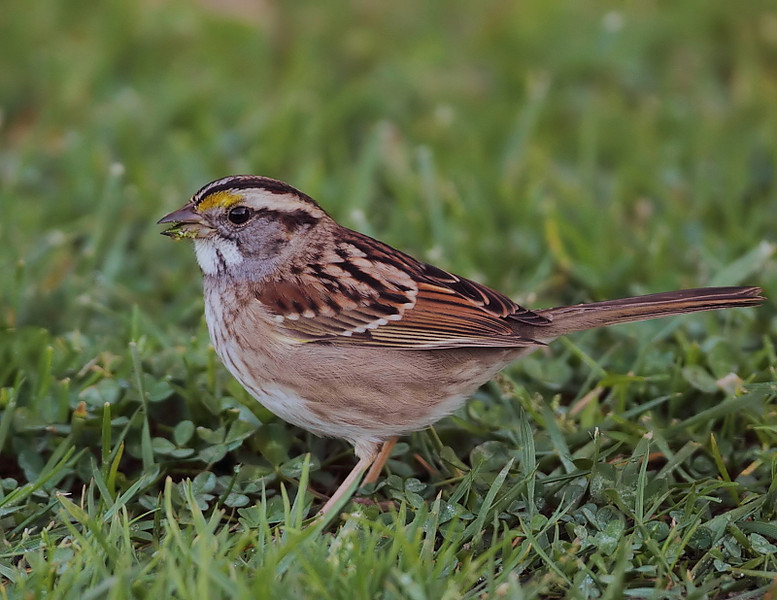 """This White-throated Sparrow, rare for our area, has been seen at Eastview Park here in San Pedro since January 9th, 2011; this was taken on January 15. It """"hangs out"""" with a small group of White-crowned Sparrows, foraging along the eastern fringes of the park. As you can see, it's actually quite accommodating to photographers/birders; a group of us were able to get within 20 feet of it."""