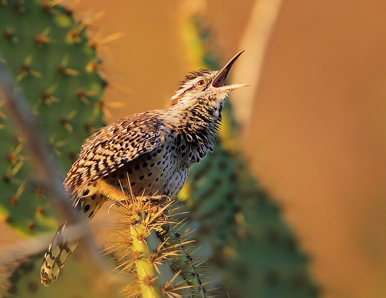 A young Coastal Cactus Wren tries its signature trill, Shoreline Park, Sept 22 2010.