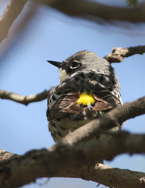 Myrtle Warbler, Madrona Marsh Nature Preserve, Torrance, CA, April 14 2012.