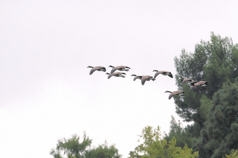 "It was a banner day at KMHRP on Sunday, Octobert 17, 2010, with so much going on that there was something of interest seemingly everywhere you looked. The park has a small group of Canada Geese that were probably dropped-off by someone, so it was exciting to see this ""wild and free"" flock flying-in for a rest at the lake."