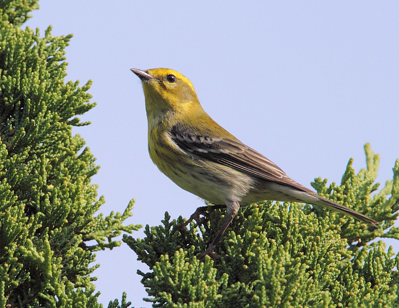 Young Townsend's Warbler foraging in a juniper tree at Rancho Vista School near the top of the Palos Verdes Peninsula, December 11 2010. Notice the difference in the lighter black face markings on this one, as opposed to the Townsend's in the next photo.