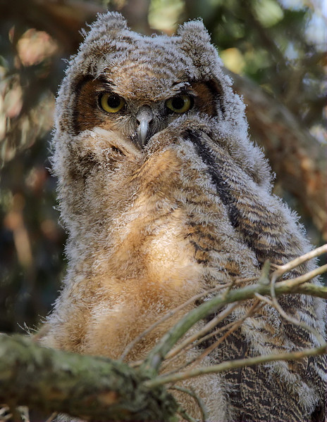 Great-horned Owl fledgling, South Coast Botanic Garden, April 6 2012.