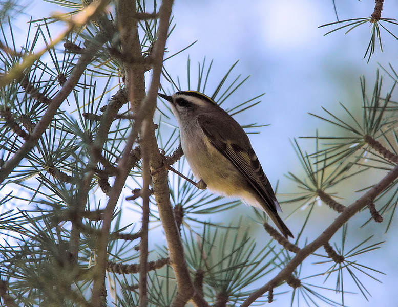 Another look at the Golden-crowned Kinglet up in Rolling Hills.