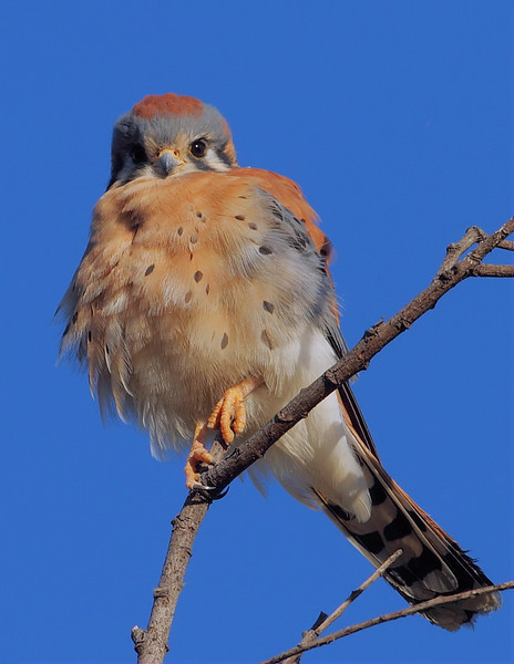 A male American Kestrel fluffed-up in the morning sun, Ken Malloy Harbor Regional Park, November 12 2012.