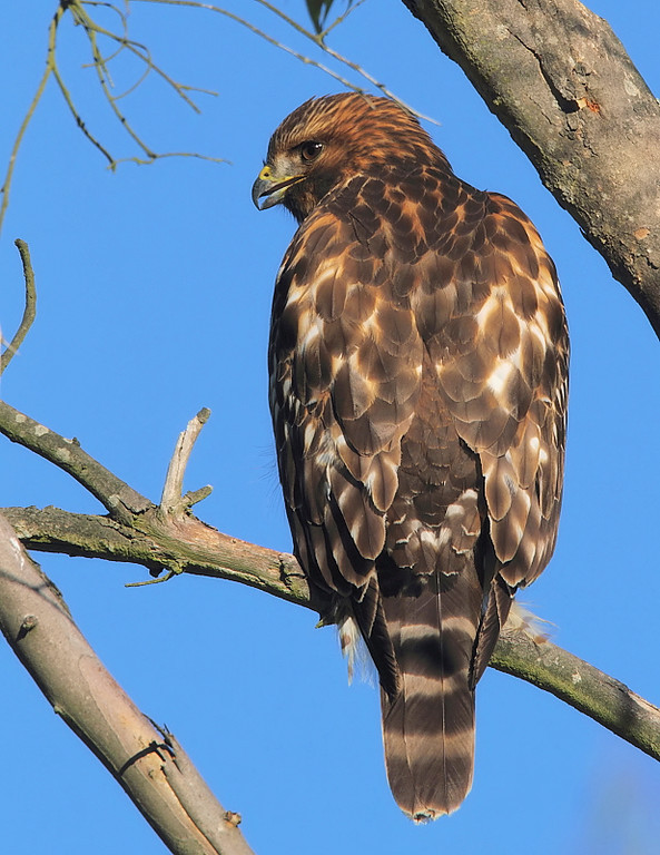 A juvenile Red-shouldered Hawk in the trees, though out-in-the-open, at Highridge Park, November 25 2010.