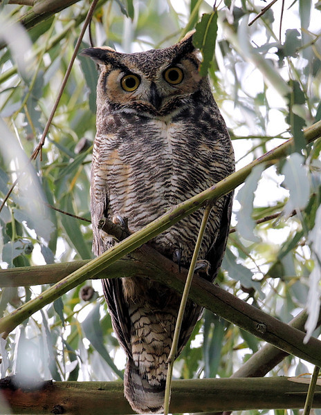Great-horned Owl, Saffo's Rest, Rolling Hills, CA, January  1 2013.