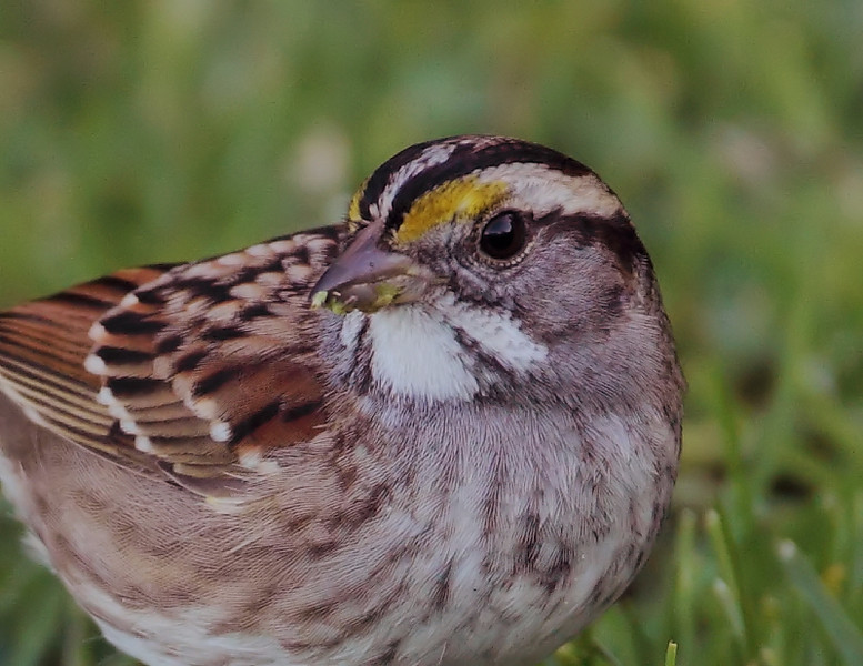 A closeup of the White-throated Sparrow, Eastview Park, San Pedro, January 15 2011.