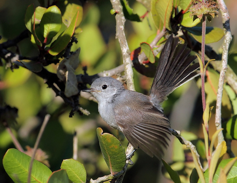"The California Gnatcatcher is constantly flicking its tail. It has a call that's somewhat ""kitten-like,"" a mewing that rises and falls. Forrestal Nature Reserve, May 29 2010."