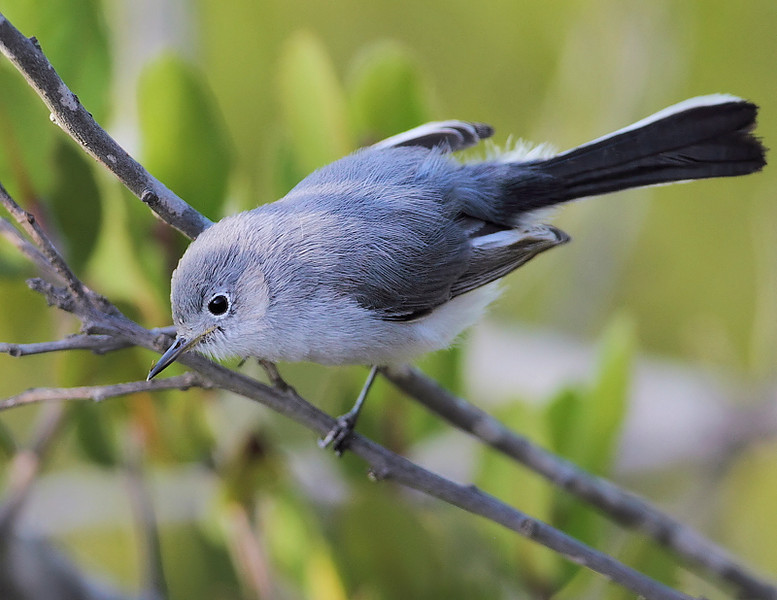 And here's a Blue-gray Gnatcatcher, Forrestal Reserve, October 12 2010. You can see the difference between the Blue-gray and the previous California.