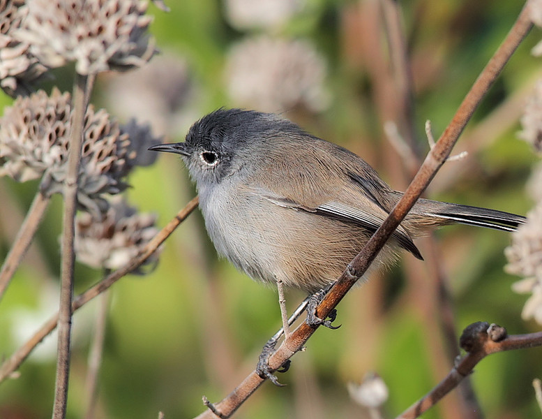 Another look at the California Gnatcatcher, Forrestal Reserve, October 12 2010.