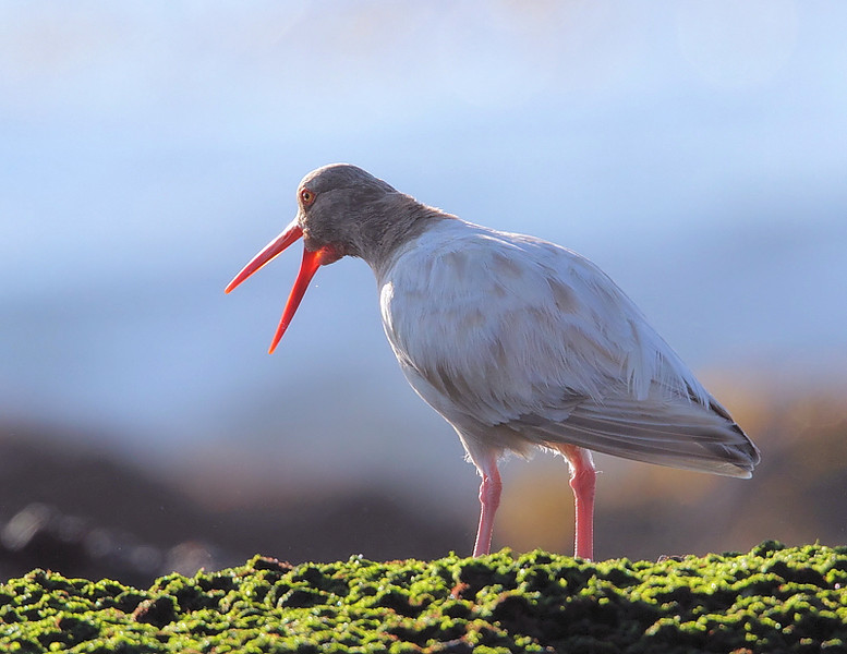 Leucistic Black Oystercatcher, Royal Palms State Beach, San Pedro, CA, December 24 2010.