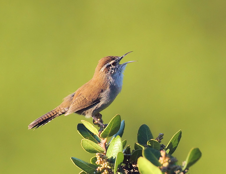 A singing resident Bewick's Wren, in the same area of Shoreline Park as the House and Cactus Wrens, October 9 2010.