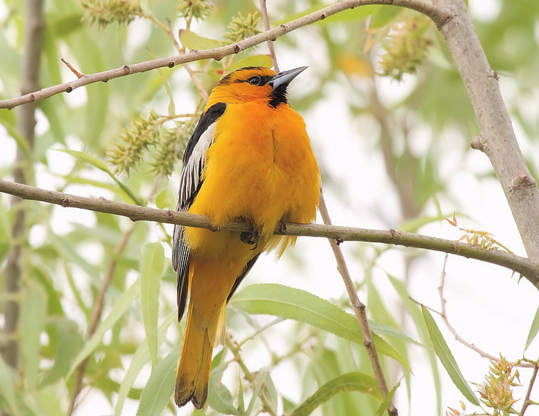 During the summer KMHRP has both Hooded and Bullock's Orioles, adding a splash of color to the scenery. Here's a Bullock's male taken June 12, 2010.