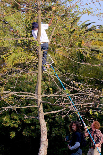 Hanging a Western Bluebird nestbox sometimes isn't that easy!  The trick is to place it where it's unlikely to be bothered by human or animal predators. Sometimes that means further up a tree, so it's a good thing that the San Pedro Kingbirders has two 15-year-olds, Jose Sandoval and John Astorga, who are pretty agile -- and fearless.This photo was taken at Averill Park in early March 2012.