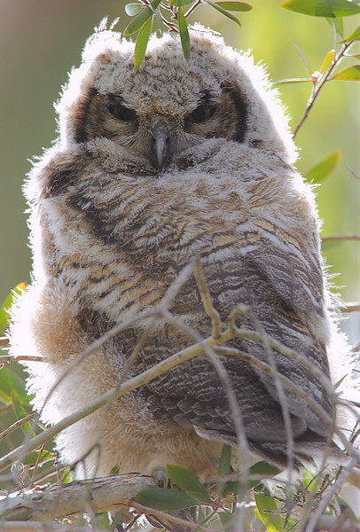 The sibling to the Great-horned Owl fledgling in the previous photo, South Coast Botanic Garden, April 6 2012.